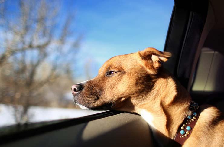 cães-em-automóveis